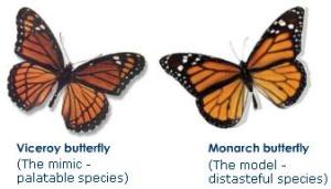 batesian-mimicry-viceroy-monarch-butterfly